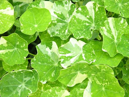 Background of bright green water cress leaves photo