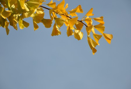 gingko: Gingko leaves in fall