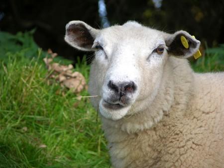 ead: Funny sheep Stock Photo
