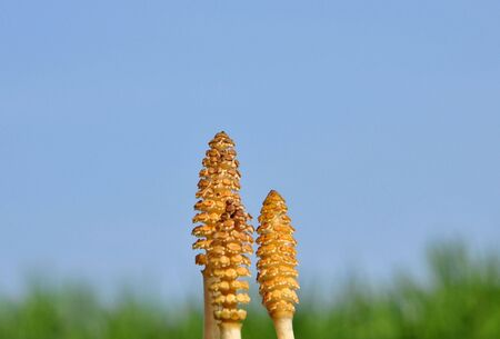 Horsetail flowers photo