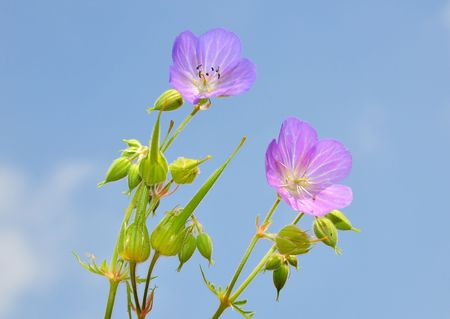Cranesbill (Geranium) Stock Photo - 5225356