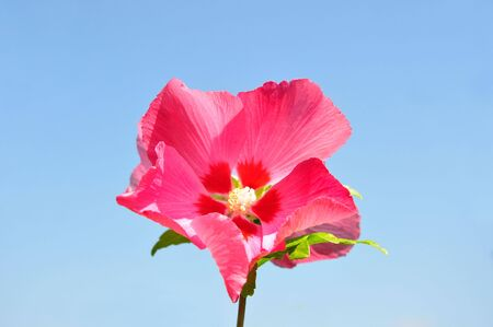 rosemallow: Hibiscus flower