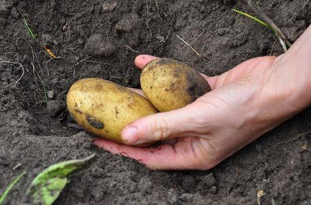 Harvesting potatoes photo