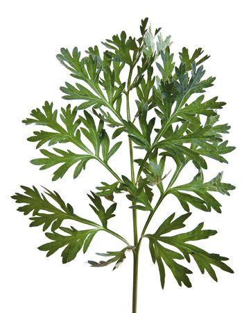 ajenjo: Common Wormwood (Artemisia absinthium) Foto de archivo