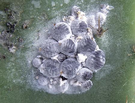 Cochineals (Dactylopius coccus) on Opuntia cactus 版權商用圖片