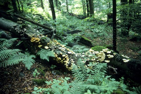 primeval forest: Primeval forest in Bavaria