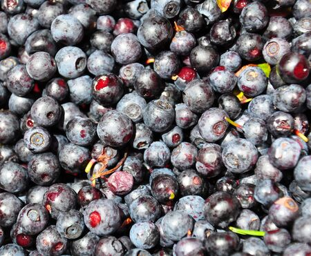 bilberries: Wild bilberries after collecting