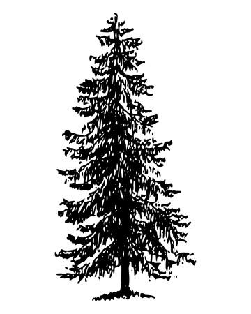 conifer: Norway spruce