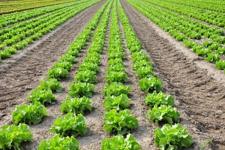 lettuce: Lettuce field Stock Photo