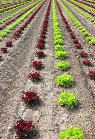Lettuce field photo