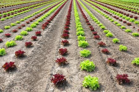 Lettuce field Stock Photo - 8522122