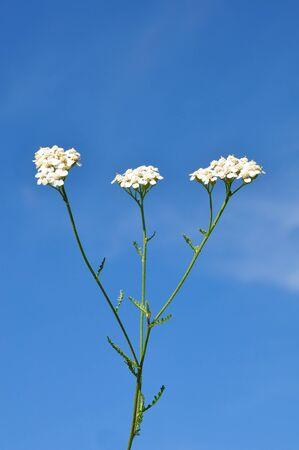 yarrow: Yarrow (Achillea millefolium) Stock Photo