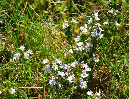 Eyebright (Euphrasia officinalis)