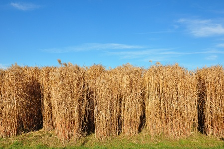 dry grass: Giant grass (Miscanthus) Stock Photo