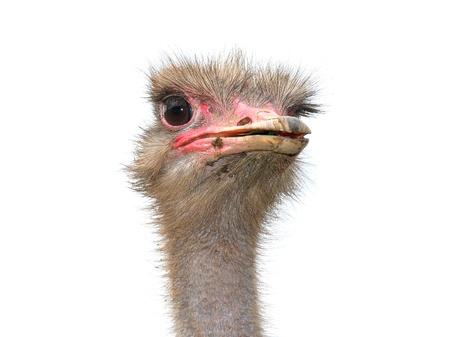 struś: Ostrich
