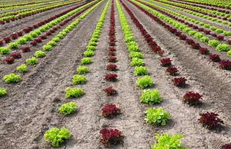 Lettuce field Stock Photo - 9145408