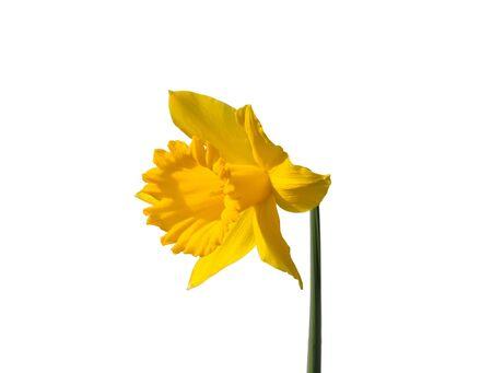 Daffodil (Narcissus pseudonarcissus) photo