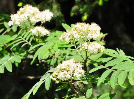 sorbus: Rowan (Sorbus aucuparia) Stock Photo