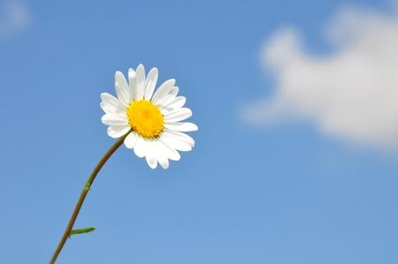 vulgare: Oxeye daisy (Leucanthemum vulgare) Stock Photo