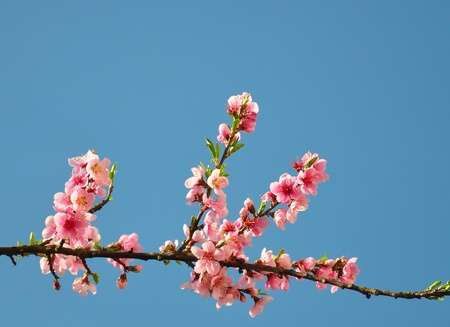 Peach flower (Prunus persica) Stock Photo - 9945308