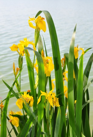 iris flower: Yellow iris (Iris pseudacorus) Stock Photo