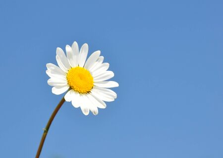 vulgare: Oxeye daisy (Leucanthemum vulgare) Stock Photo