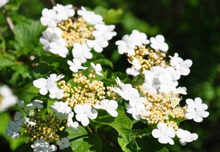 guelder: Guelder rose (Viburnum opulus)