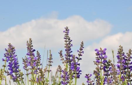 Meadow sage (Salvia pratensis)