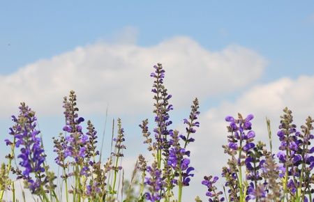 phytotherapy: Meadow sage (Salvia pratensis)