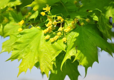 acer: Maple flowers (Acer)