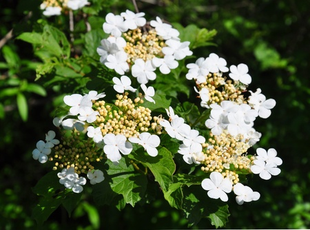 guelder rose: Guelder rose (Viburnum opulus)