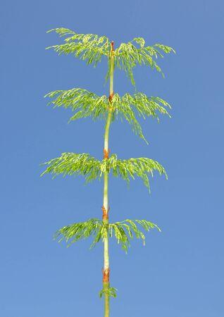 equisetum: Wood horsetail (Equisetum sylvaticum)