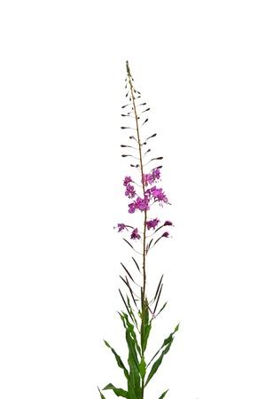 Rosebay Willowherb (Epilobium angustifolium) Stock Photo