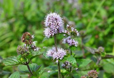 mentha: Water mint (Mentha aquatica) Stock Photo