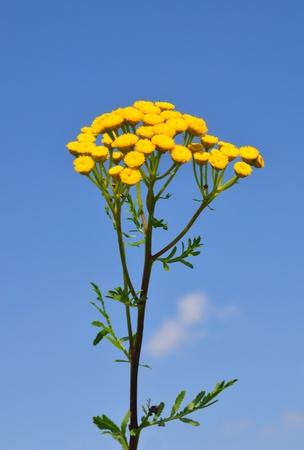 vulgare: Tansy (Tanacetum vulgare)