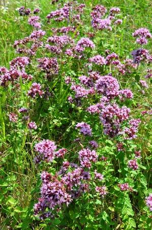 vulgare: Oregano (Origanum vulgare)