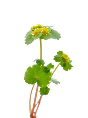 Alternate-leaved Golden Saxifrage (Chrysosplenium alternifolium) photo
