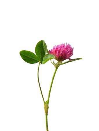 trifolium: Red clover (Trifolium pratense)
