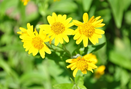 North American arnica (Arnica chamissonis)