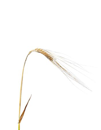 Barley (Hordeum vulgare) photo