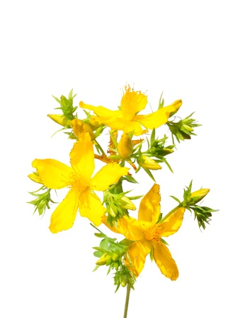 St. Johns wort (Hypericum perforatum) photo