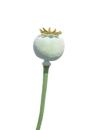 papaver: Garden poppy (Papaver)