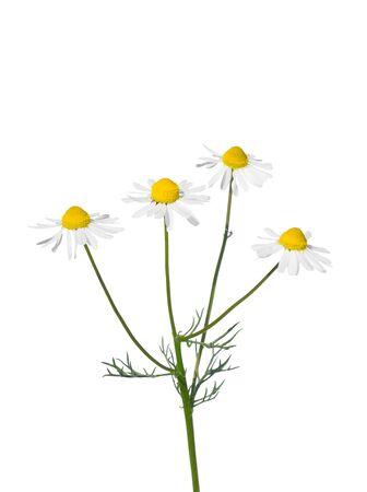 German chamomile (Matricaria chamomilla) photo