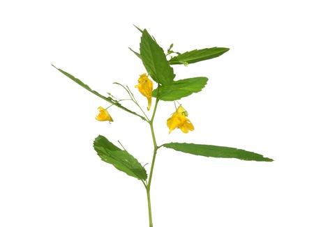 balsam: Touch-me-not balsam (Impatiens noli-tangere)