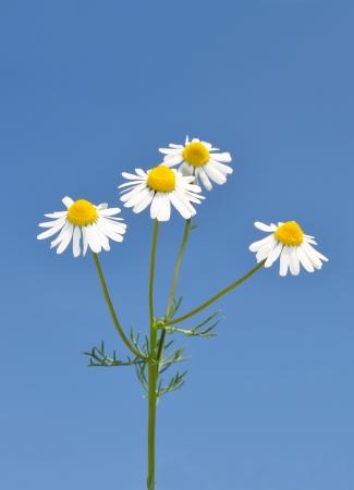 German chamomile (Matricaria chamomilla) 版權商用圖片 - 15234986