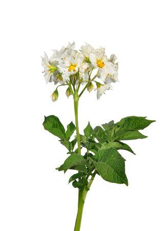 Potato flower Stock Photo - 15234985