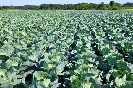 cabbage: Kool veld