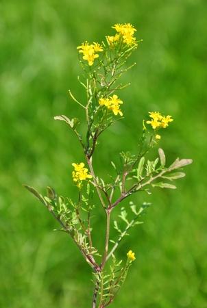 creeping: Creeping yellowcress (Rorippa sylvestris) Stock Photo