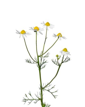 matricaria recutita: Camomilla tedesca (Matricaria Chamomilla) Archivio Fotografico