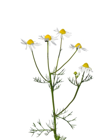 German chamomile (Matricaria chamomilla) photo